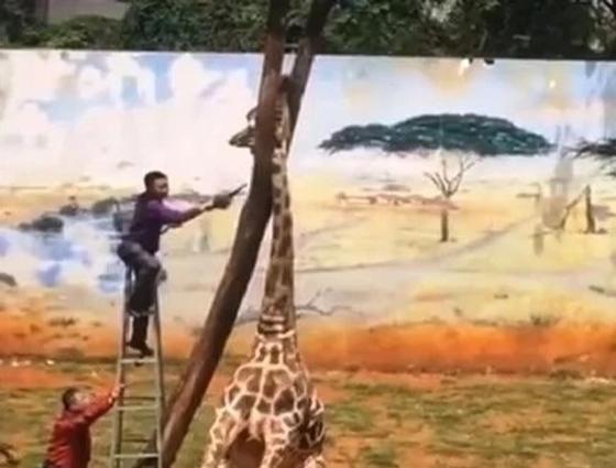 Жираф нелепо и трагически погиб в зоопарке