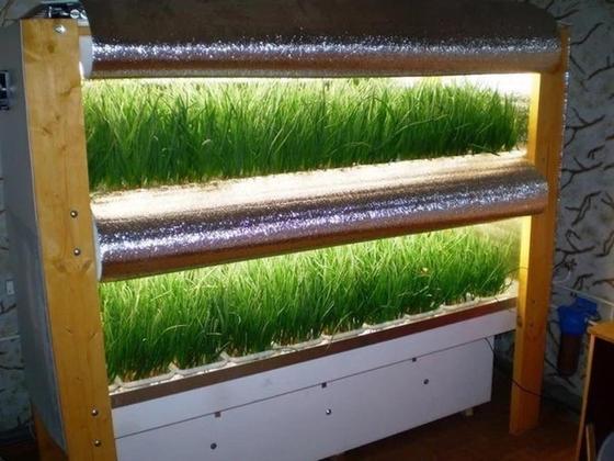 выращивание зеленого лука на дому