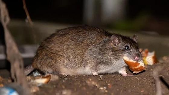 Заразился от грызунов: зафиксирован первый случай крысиного гепатита у человека