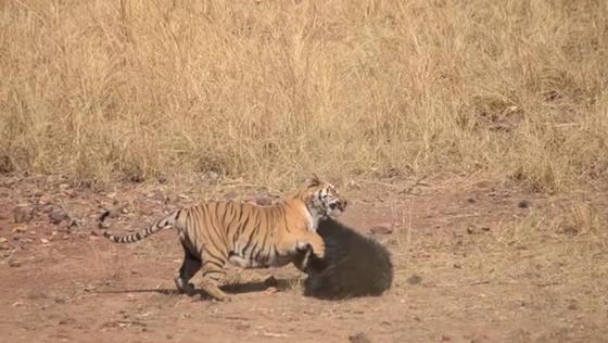 Вот так встреча! В Сети появилось видео схватки тигра с медведем