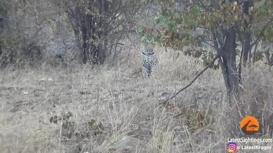 Смертельная схватка леопарда и дикобраза