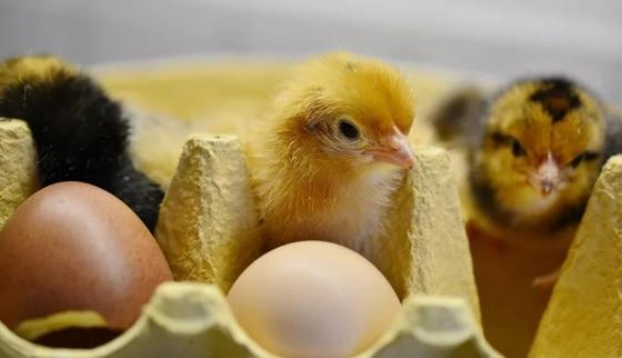 Сотни цыплят вылупились из выброшенных на свалку яиц в Грузии