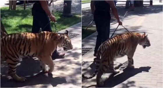 Гулящий по Арбату тигр без намордника напугал алматинцев (видео)