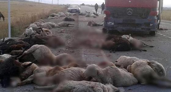 Фура протаранила отару из 500 овец в Кыргызстане