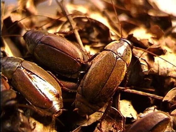 Тарақанның сүті. Фото: fishki.net