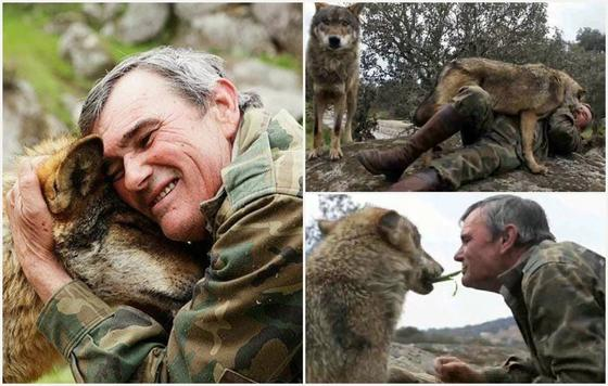 Не смог привыкнуть: Испанский Маугли спустя 53 года захотел вернуться в стаю волков
