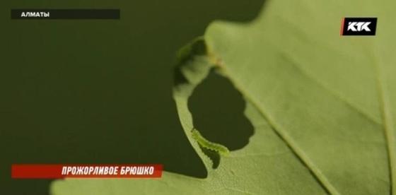 Алматы останется без зелени, рассказали ученые