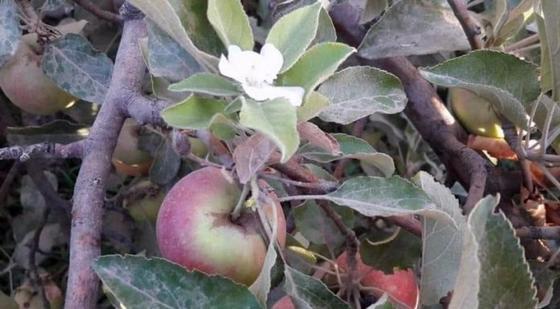 Яблони опять зацвели в Шымкенте (фото)