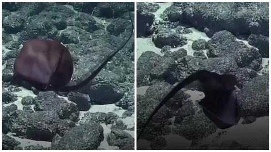 """""""Кажется, он переел!"""" Ученые засняли на видео очень странную рыбу (видео)"""
