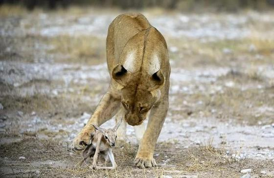 Львица, потерявшая детёнышей, приютила маленькую антилопу