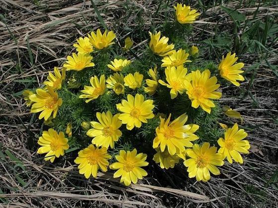 Адонис (или Горицвет) весенний
