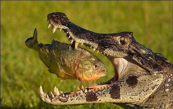 Как кормят крокодилов в алматинском зоопарке
