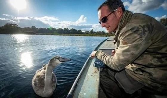 Дикий лебедь привык к человеку и отказался возвращаться в стаю