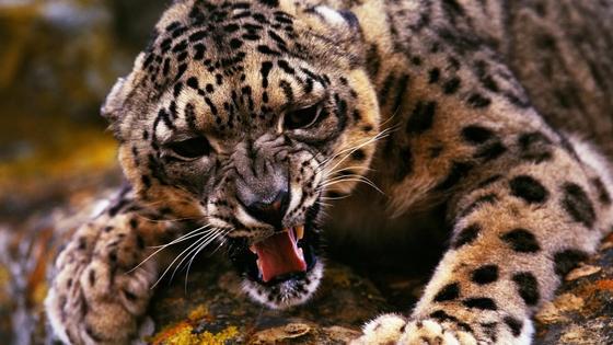 Леопард съел трехлетнего сына полицейского
