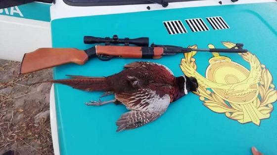 убитый фазан лежит на капоте полицейской машины