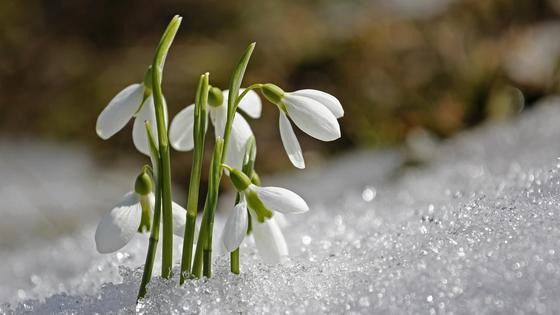 подснежник растет в снегу