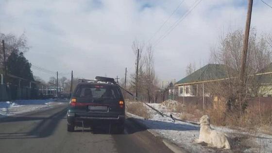 Собаку протащили в Алматинской области