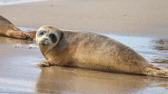 Тюлень лежит на пляже
