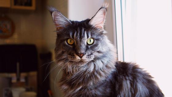 Большой кот смотрит в камеру
