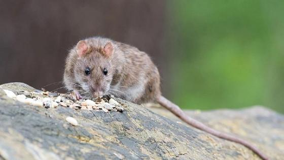 Крыса сидит на камне