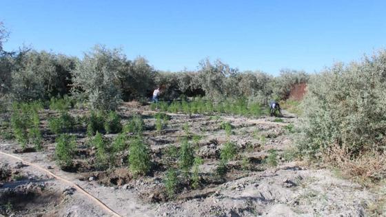 Уничтожение конопли в Кызылординской области