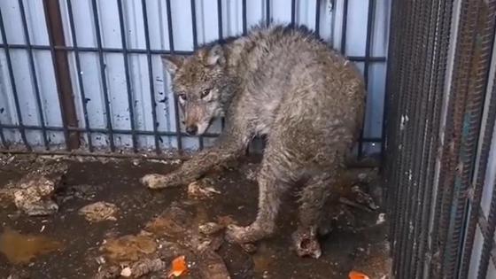 Волк в жутких условиях в Алматинской области