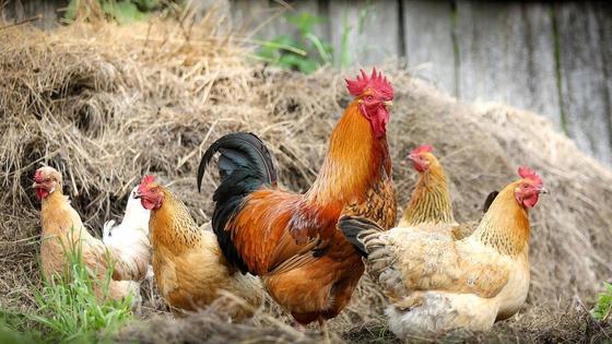 Петух стоит в окружении куриц