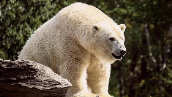 Белый медведь на камне