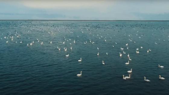 Утки и лебеди на поверхности озера Караколь