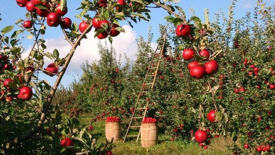 Спелые яблоки висят на деревьях в саду