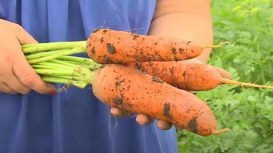 Морковь в руках