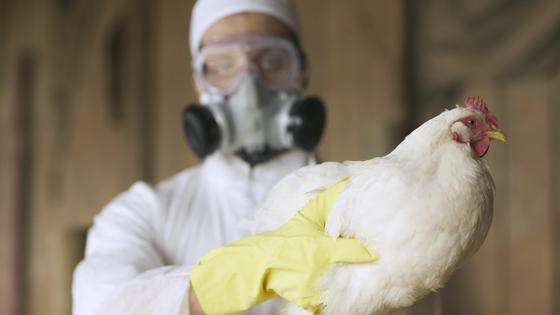 Человек в защитном костюме держит в руках курицу