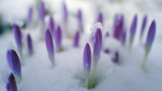 цветы из-под снега