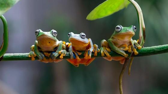 Три лягушки на ветке