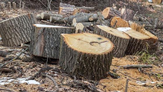 Распиленные стволы деревьев лежат на опилках