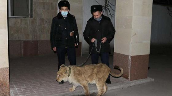 Полицейские ведут львенка
