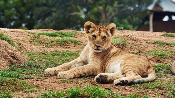 Львенок лежит на земле