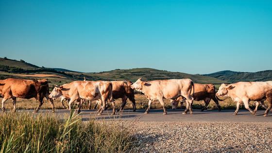 Стадо коров идет по дороге