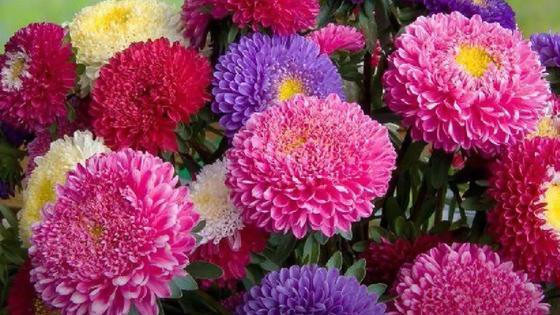 Разноцветные астры с махровыми соцветиями