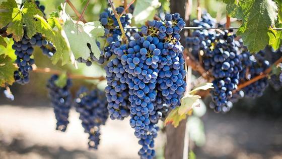 Гроздья синего винограда на кустах