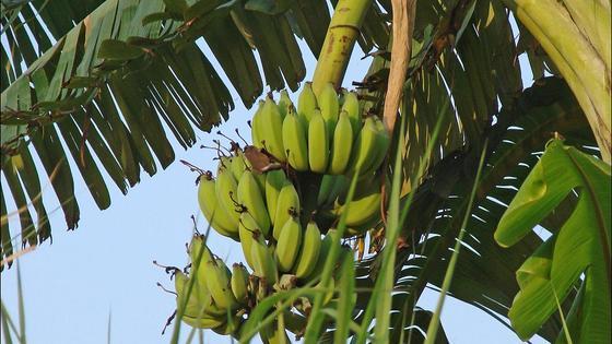 бананы на дереве