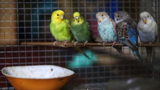 Пять попугаев сидят на жердочке в клетке для птиц