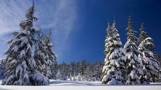 Ели покрыты снегом