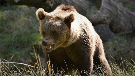Злой медведь гризли