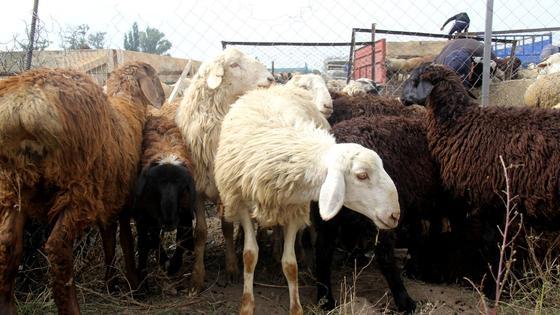 Стадо овец, запертое в загоне