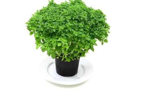 В горшке растет зеленый базилик