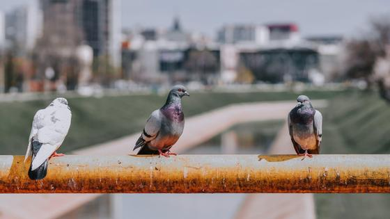 Голуби сидят на заборе