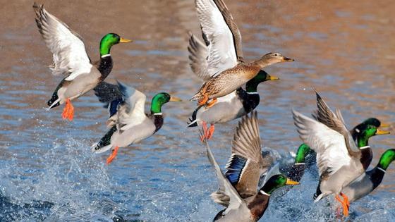 Утки взлетают над водоемом