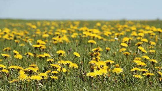 поле одуванчиков