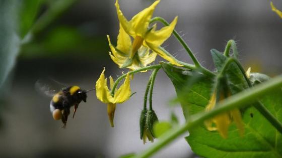 На желтые цветки помидоров садится шмель